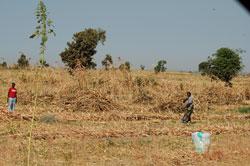 Guinea corn field